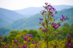 Purple flowers in East Tennessee mountains