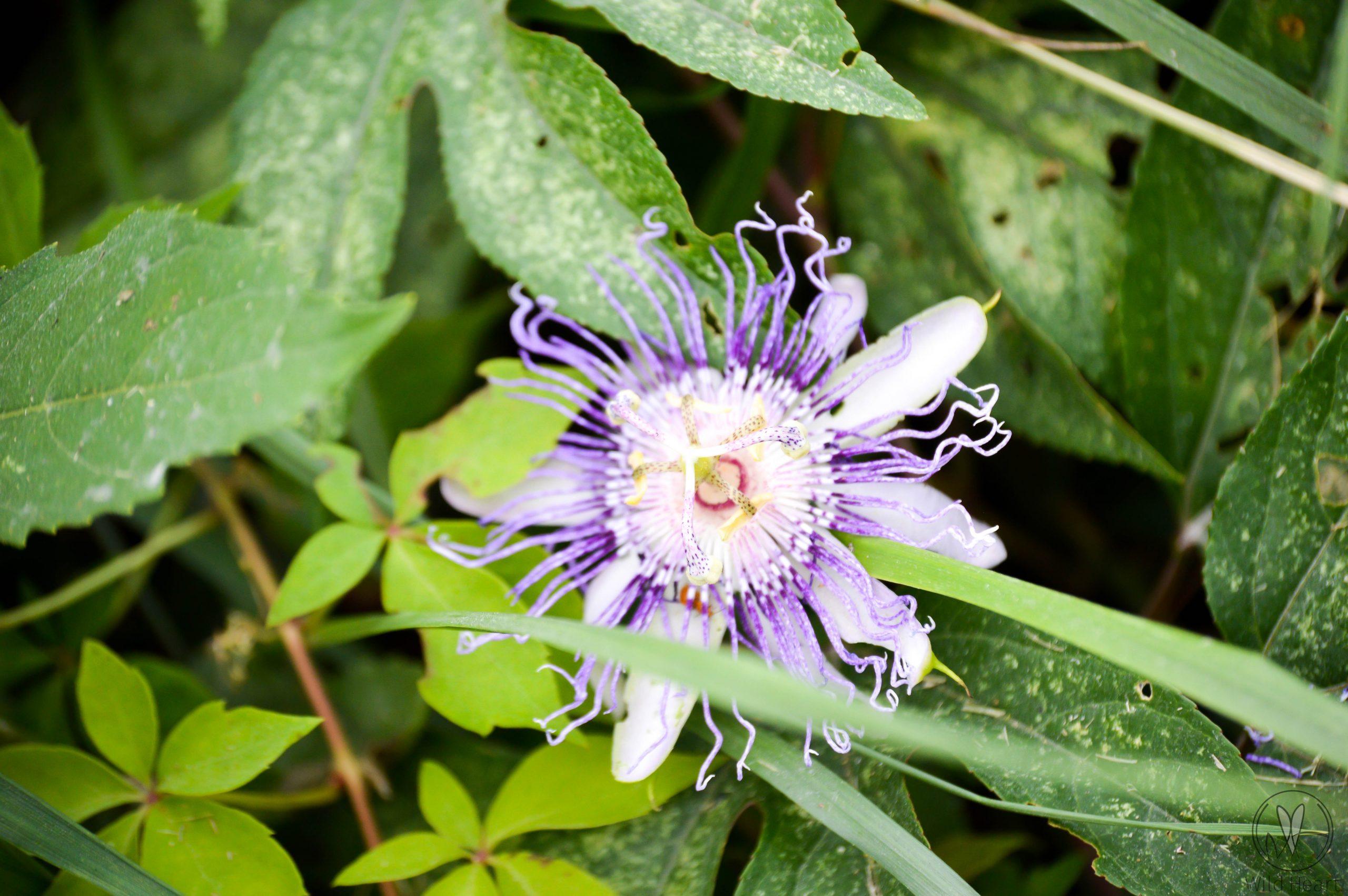Purple flower in East Tennessee
