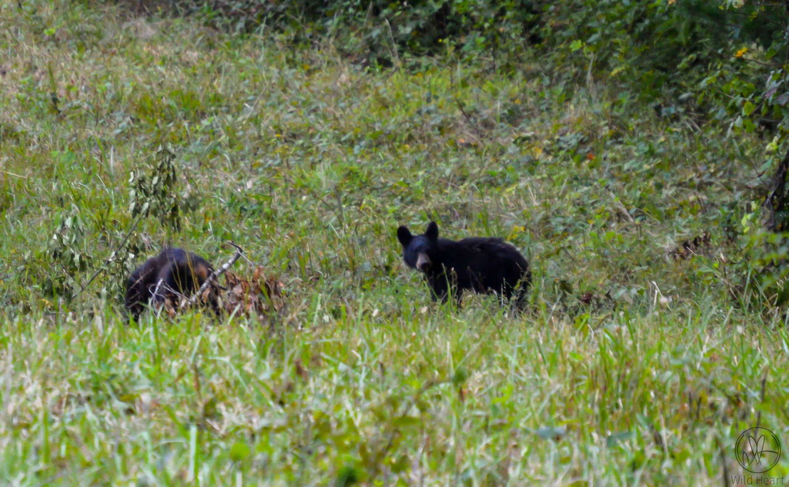 Black bears in East Tennessee