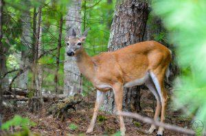 Deer in East Tennessee